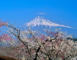 富士市岩本山公園のウメの花と富士山の写真素材 [FYI02074667]
