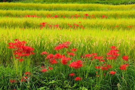 明日香村 彼岸花と棚田の写真素材 [FYI02074687]