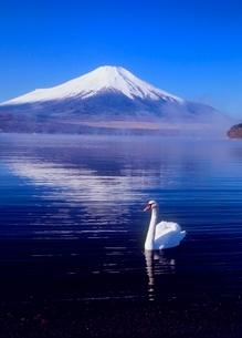 山中湖から白鳥と富士山の写真素材 [FYI02074715]