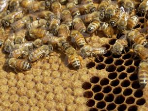 巣箱のミツバチの写真素材 [FYI02074731]