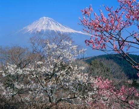 富士市岩本山公園のウメの花と富士山の写真素材 [FYI02074811]