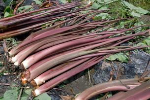 収穫後の紅芋茎(ベニズイキ)の写真素材 [FYI02074846]