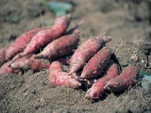 収穫後のサツマイモの写真素材 [FYI02074858]