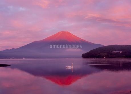 山中湖から白鳥と赤富士の写真素材 [FYI02074861]