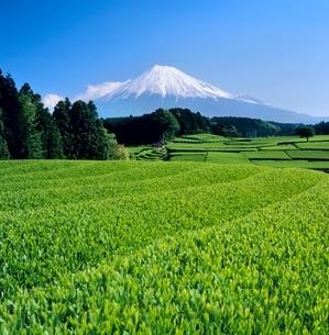 富士市大渕の茶畑と富士山の写真素材 [FYI02074875]