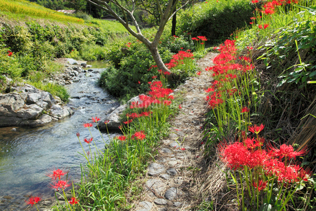 明日香村 彼岸花と飛鳥川の写真素材 [FYI02074896]