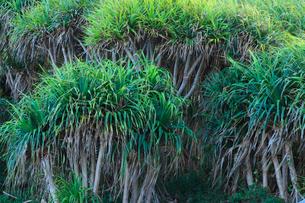 小笠原諸島母島 タコの木の写真素材 [FYI02075095]