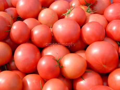 収穫後のトマトの写真素材 [FYI02075175]
