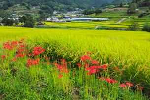 明日香村 彼岸花と棚田の写真素材 [FYI02075235]