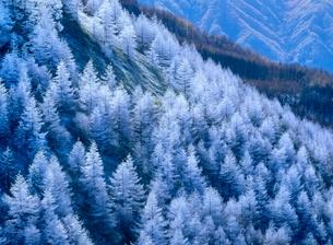 美ヶ原高原武石峰 カラマツ林の霧氷の写真素材 [FYI02075296]