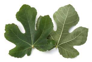 無花果の葉の写真素材 [FYI02075312]