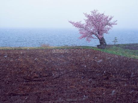 仁科三湖・青木湖畔の桜と水田と雪の写真素材 [FYI02075372]