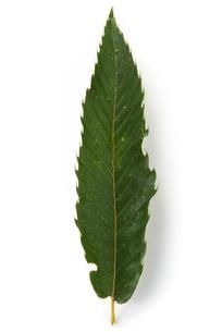 栗の葉の写真素材 [FYI02075373]