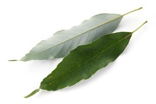 ウラジロガシの葉の写真素材 [FYI02075420]