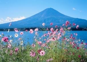 河口湖長崎のコスモスと富士山の写真素材 [FYI02075526]