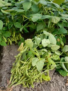 枝豆の収穫の写真素材 [FYI02075557]