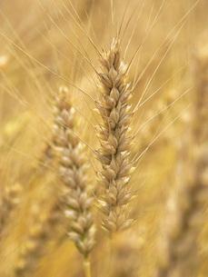 麦秋の小麦畑の写真素材 [FYI02075626]