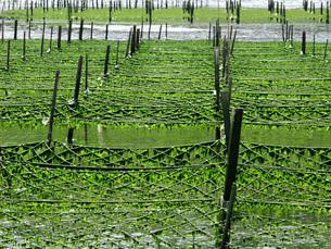 あおさのり養殖の写真素材 [FYI02075799]
