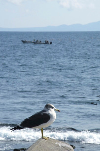海鳥と羅臼の海の写真素材 [FYI02075874]