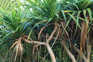 小笠原諸島母島 タコの木の写真素材 [FYI02075979]