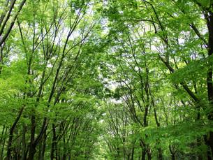 新緑の森の写真素材 [FYI02075981]