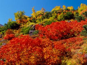 乗鞍岳位ヶ原のナナカマドとダケカンバ紅葉の写真素材 [FYI02076057]
