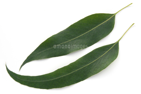 ユーカリの葉の写真素材 [FYI02076143]
