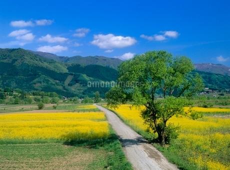 小沼 緑樹とナノハナの小道の写真素材 [FYI02076168]