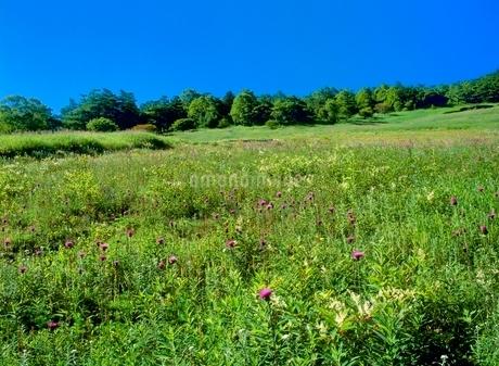 高峰高原 ノアザミ咲く草原の写真素材 [FYI02076181]