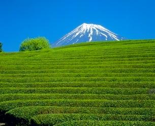 大渕の茶畑と緑樹の富士山の写真素材 [FYI02076248]