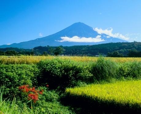 柚野の稲田とヒガンバナの富士山の写真素材 [FYI02076255]