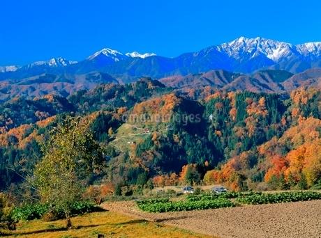 成就 山里の紅葉と新雪の蓮華岳,爺ヶ岳の写真素材 [FYI02076270]
