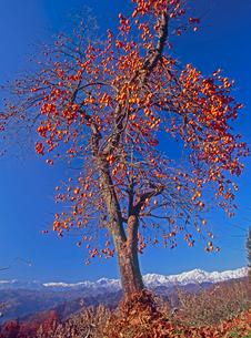 柿と北アルプス・蓮華岳,爺ヶ岳,鹿島槍ヶ岳の写真素材 [FYI02076331]