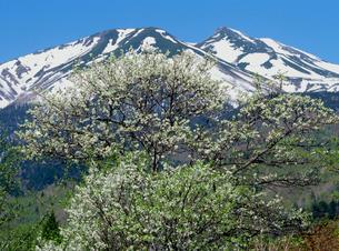 乗鞍高原 一ノ瀬園地のスモモの花と乗鞍岳の写真素材 [FYI02076377]