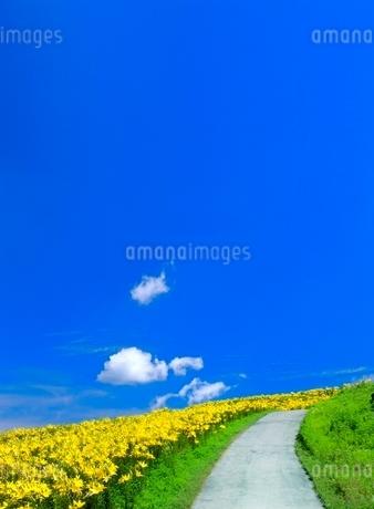 富士見高原ゆりの里 ユリの小道と青空 の写真素材 [FYI02076408]