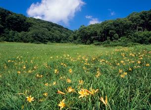 木島平村カヤノ平北ドブ湿原のニッコウキスゲの写真素材 [FYI02076469]