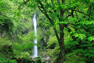 阿弥陀ヶ滝の新緑の写真素材 [FYI02076496]