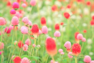 センニチコウの花の写真素材 [FYI02076514]