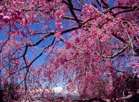 小川村立屋地区のベニシダレザクラと鹿島槍ヶ岳の写真素材 [FYI02076538]