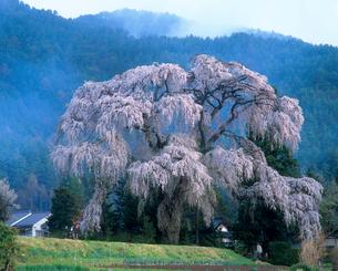 安曇野市 三郷地区 小倉のしだれ桜と山霧の写真素材 [FYI02076595]