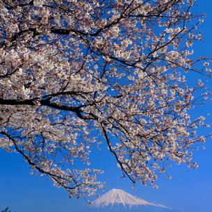雁堤のサクラと富士山の写真素材 [FYI02076619]