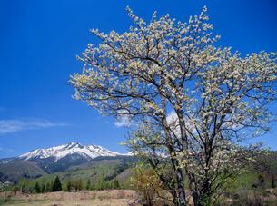 乗鞍高原 一ノ瀬園地のスモモの花と乗鞍岳の写真素材 [FYI02076635]