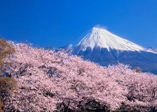雁堤のサクラと富士山の写真素材 [FYI02076682]