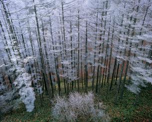 ビーナスライン沿いの霧氷の唐松林の写真素材 [FYI02076815]