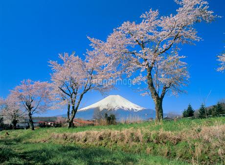 新名庄川堤のサクラと富士山の写真素材 [FYI02076946]