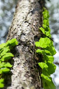 八ヶ岳高原 唐松と新緑のツタの写真素材 [FYI02077003]