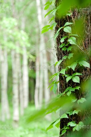 八ヶ岳高原 新緑のツタと白樺林の写真素材 [FYI02077012]