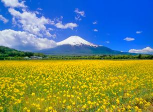 花の都公園に咲くナノハナと富士山の写真素材 [FYI02077032]