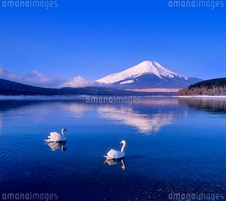山中湖の白鳥と富士山の写真素材 [FYI02077060]