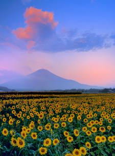 花の都公園に咲くヒマワリと富士山の写真素材 [FYI02077097]